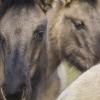 Konikpferde - Im Revier der wilden Pferde - Marchegg - Januar 2016